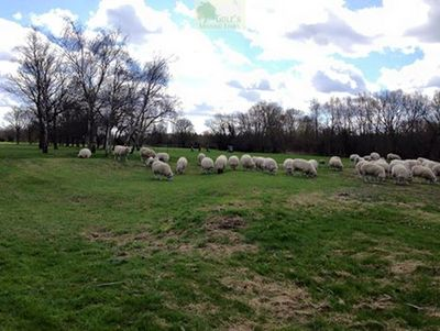 Laleham Golf Club, Chertsey, Surrey. Sharing the course with sheep in 2015.